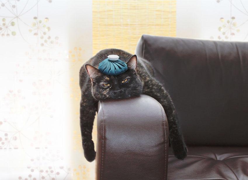 Santé chat : Herpes du chat