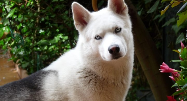 Husky de Sibérie : Race de chien