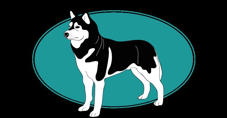 le-husky-de-siberie-assuropoil