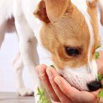 Alimentation pour chien : 5 légumes pour chien qui sont bons pour sa santé, asperges, patates douces