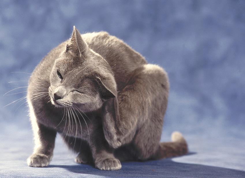 Les parasites du chat : Entretien