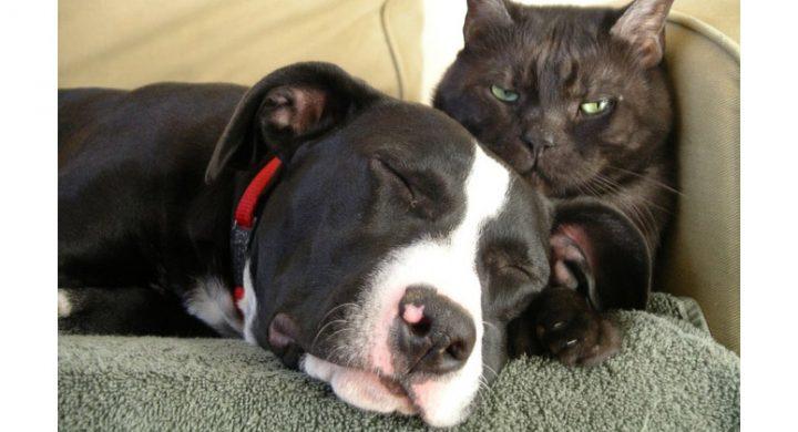 Maladie de la rage : Rage chien, Rage chat