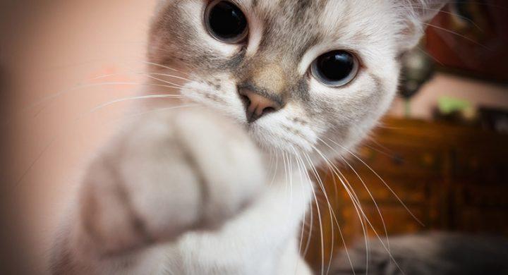 Maladie des griffes du chat traitement et symtômes