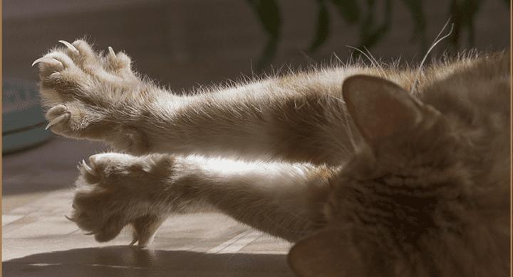 Mon chat perd ses griffes, santé du chat