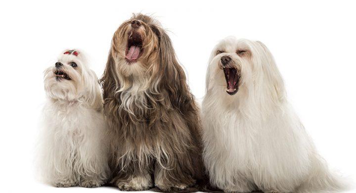 Mon chien aboie que faire, aboiement de chien quelles solutions ; Education chien