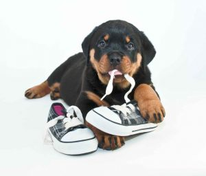 Comportement des animaux : chien qui mâchouille tout