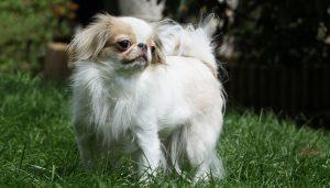 Mon chien n'aboie pas : est-ce normal ?