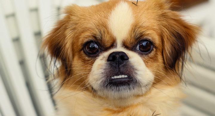 Mon chien claque des dents