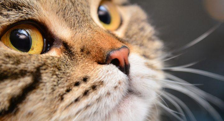 Comprendre son chat : A quoi servent les vibrisses ou moustaches du chat