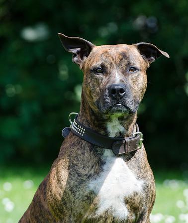 Education chien : port de la muselière obligatoire pour le americain stafford terrier