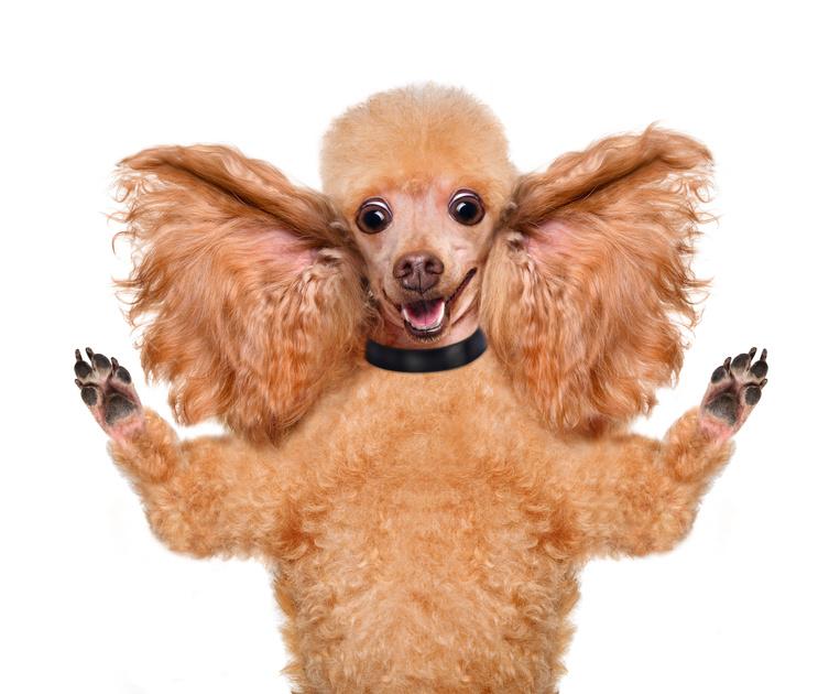 Nettoyer les oreilles de son chien pour son bien-être