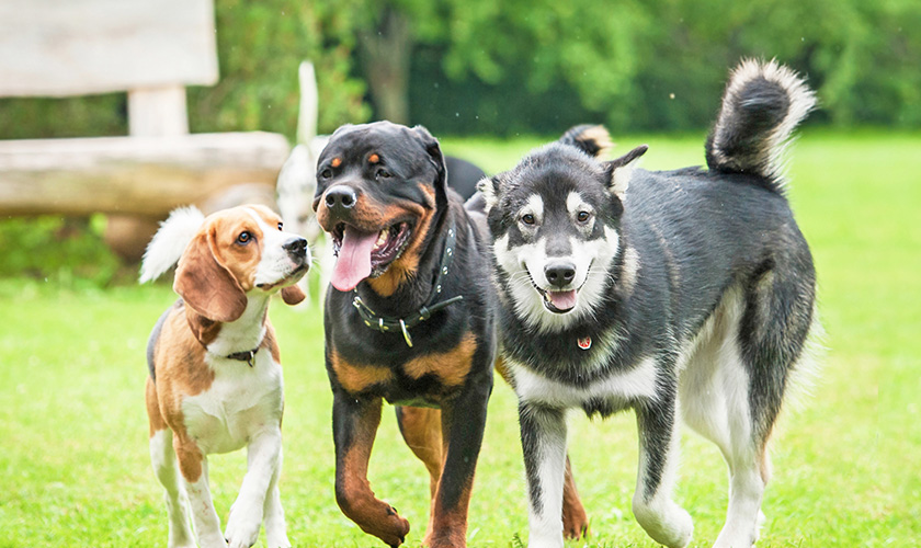 Nom de chien 2020 : Les races de chien pure