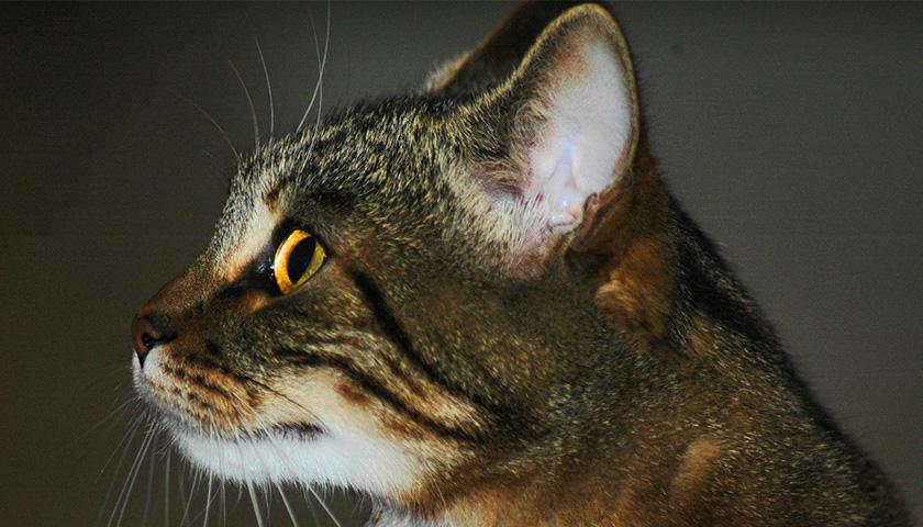 Ouie du chat : Quels sons percoit l'oreille du chat