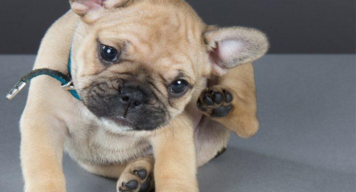 Bien-être : Parasite chien