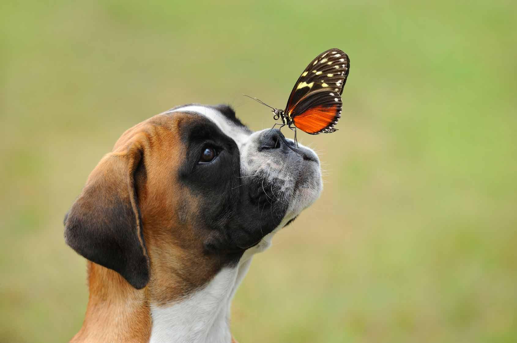 Piqûre guêpe chien, chien piqué par un insecte