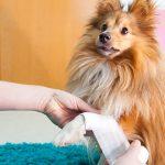 Plaie chien : comment nettoyer la plaie du chien