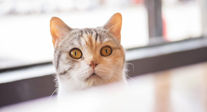 Pourquoi mon chat me suit partout
