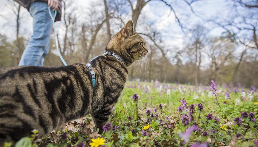 Promener son chat en laisse : promenade chat