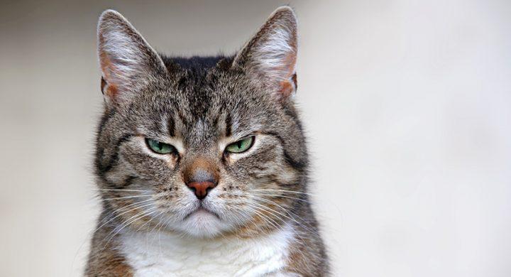 Comprendre son chat : Les chats ont-ils des émotions, comprendre la psychologie du chat