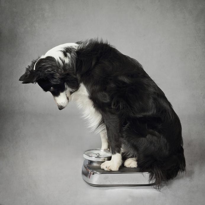 Regime pour votre chien en surpoids : Santé