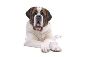 Saint Bernard : Toutes les races de chien