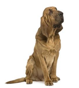 Saint Hubert : Toutes les races de chien