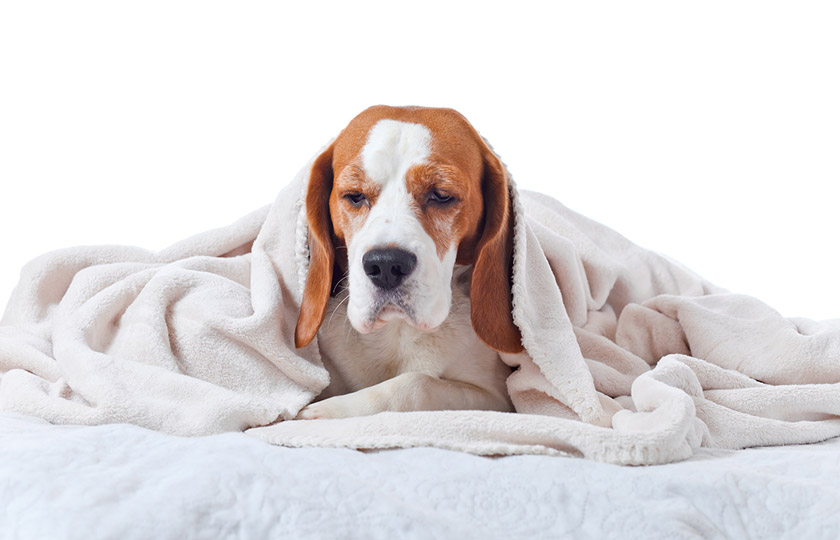Santé du chien, santé du chat : soigner le rhume chez le chien et le chat, symptômes rhume chien