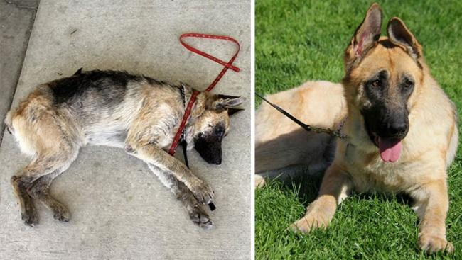 Sauvetage chiens : un berger allemand avant et apres sauvetage