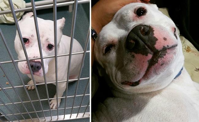 Sauvetage chiens : un pitbull qui sourit après son sauvetage