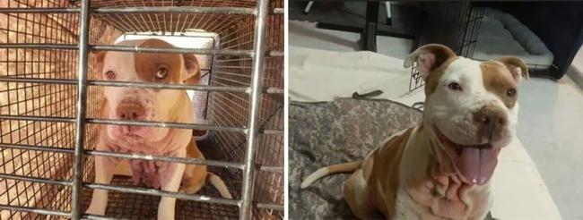 Sauvetage chiens : la photo d'un pitbull avant et après sauvetage