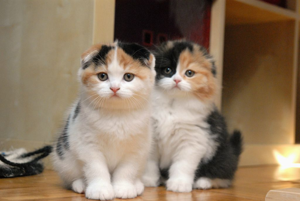 Scottish fold : races de chats