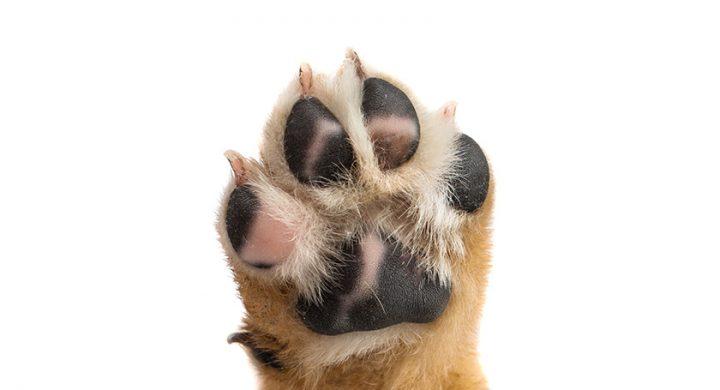 Soigner coussinet chien : Comment prendre soin des coussinets de chien.