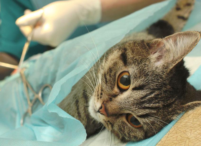 Santé Prévention Chat Stérilisation du chat quels sont les avantages et les inconvénients