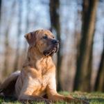 Tosa : Race de chien