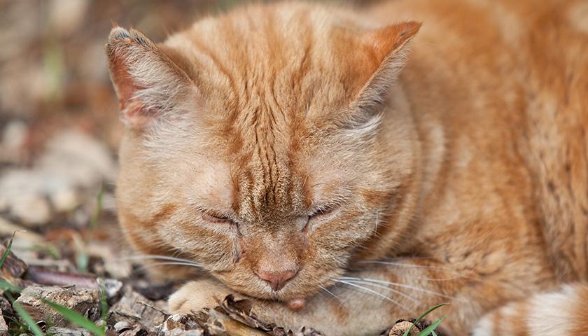 Verrue chat : Comment savoir si mon chat a un verrue ?