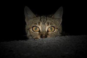 Vision nocturne du chat : Pourquoi les yeux des chats luisent dans le noir ?